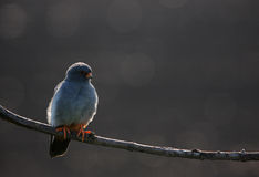 Red-footed Falcon male. The picture was taken in Hungary Royalty Free Stock Photos