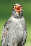 Red-footed falcon Royalty Free Stock Photos