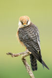 Red-footed Falcon Stock Photos