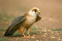 Red-footed Falcon stands on the ground and spreading his wings ready to fly stock photo