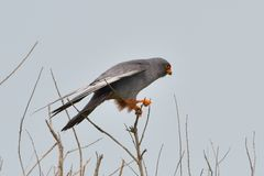 Red footed falcon in top of a tree stock photography