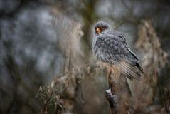 Red-footed Kestrel - Falco vespertinus. Beautiful raptor from frozen European winter forest stock photo