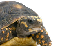 Red-footed tortoise Stock Photo