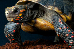Red-footed tortoise. / Chelonoidis carbonaria Royalty Free Stock Photography