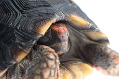 Red-footed tortoise Stock Photos