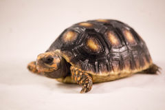 Red footed tortoise. Beauty Stock Photos