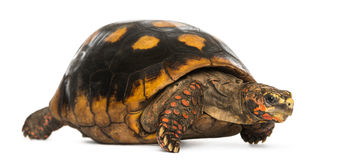 Red-footed tortoise, Chelonoidis carbonaria, isolated Stock Photo