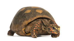 Red-footed tortoise, Chelonoidis carbonaria, isolated Royalty Free Stock Photos