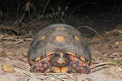 Red-footed Tortoise from Front Royalty Free Stock Images