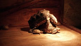 Red-footed tortoise and Indian star tortoise. Turtles mating. stock footage