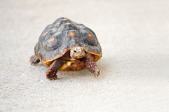 Red Footed Tortoise Walking Royalty Free Stock Photos