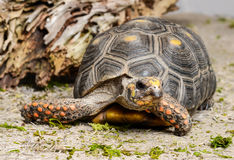 Red Footed Tortoise Royalty Free Stock Image