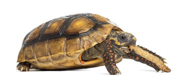 Red-footed tortoises, Chelonoidis carbonaria, eati Stock Image