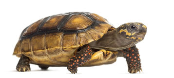 Red-footed tortoises, Chelonoidis carbonaria, in f Stock Images