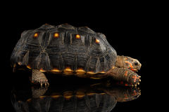 Red-footed tortoises, Chelonoidis carbonaria, Isolated black background. With reflection, side view Royalty Free Stock Photography