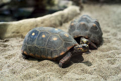 Red-footed tortoises Stock Image