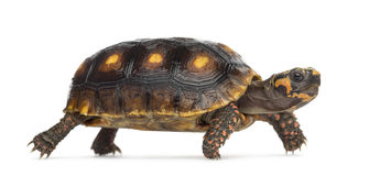 Red-footed tortoises, Chelonoidis carbonaria Stock Images