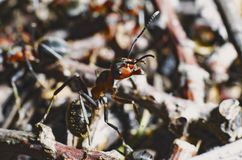 The red forest ant turned, as if going into battle. Closeup on a mixed background. royalty free stock photography