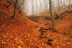Red forest in autumn. Red autumn underwood into the  forest in autumn with fog Stock Photos