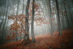 Red forest in autumn with fog Stock Photography