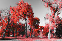 Red Forest in Black and White Landscape Stock Photo
