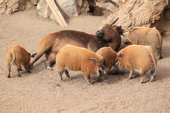Red forest buffalo and pigs Royalty Free Stock Images