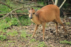 Red forest duiker Royalty Free Stock Image