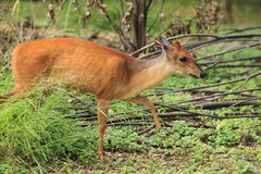 Red forest duiker Stock Photography