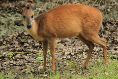 Red forest duiker Stock Images