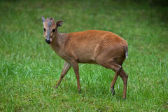 Red forest duiker (Cephalophus natalensis). Royalty Free Stock Images