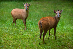 Red forest duiker Cephalophus natalensis. Stock Images