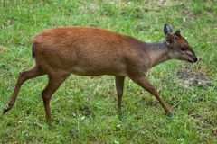 Red forest duiker Cephalophus natalensis. Royalty Free Stock Photography