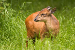 Red Forest Duiker Royalty Free Stock Photography