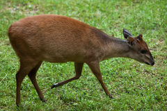 Red forest duiker (Cephalophus natalensis). Royalty Free Stock Image