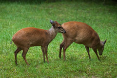 Red forest duiker (Cephalophus natalensis). Stock Image