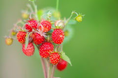 Red forest organic strawberries on branch Royalty Free Stock Photography