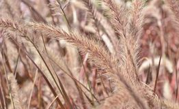 Red Fountain Grass Royalty Free Stock Image