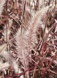 Red Fountain Grass Stock Photo