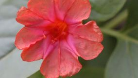 Red four o`clock flower Mirabilis Jalapa stock footage