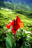 Red fower front the green tea plantations Cameron Highlands Royalty Free Stock Photography