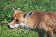 Red Fox 0008 Royalty Free Stock Photos