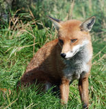 Red Fox 0039 Royalty Free Stock Image