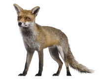Red Fox, 1 year old, standing Stock Photo