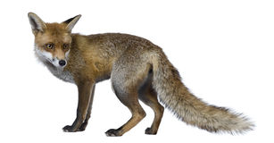 Red Fox, 1 year old, standing Royalty Free Stock Photo