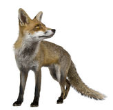 Red Fox, 1 year old, standing Royalty Free Stock Image
