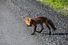 Red fox. Picture of a Red Fox who did catch his lunch Stock Photography