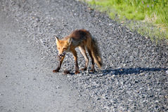 Red fox. Picture of a Red Fox who did catch his lunch Stock Photo