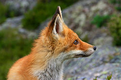 Red fox. Side view of juvenile red fox outdoors Royalty Free Stock Photography