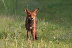Red Fox. A red fox is sleeping in the sunlight Stock Photography