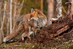 Red fox. Wild red fox on hill Stock Photo